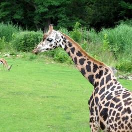 giraffe001a