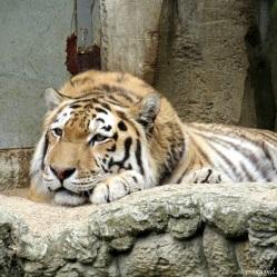 tiger002a