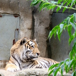 tiger003a