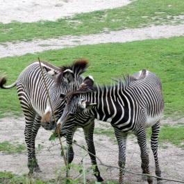 zebra001a