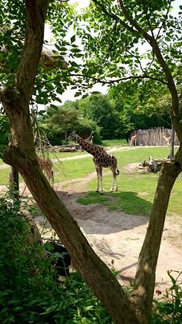Zoo Leipzig Giraffen