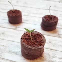 Tomaten selber aussäen -Balkongärtnern