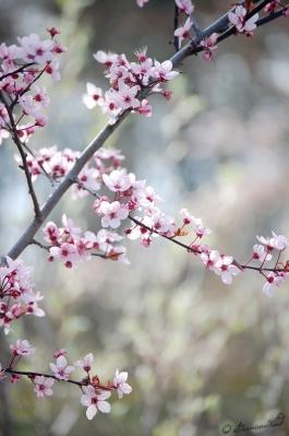 Kirschblüte Fotografie
