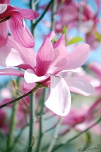 Magnolie Fotografie