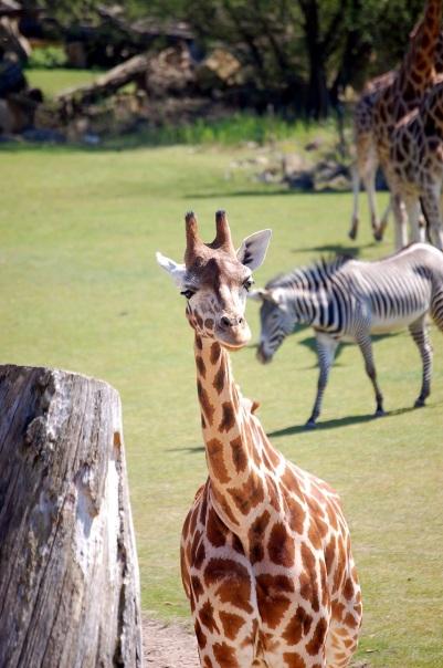 2017_Leipzig_Zoo_Giraffe