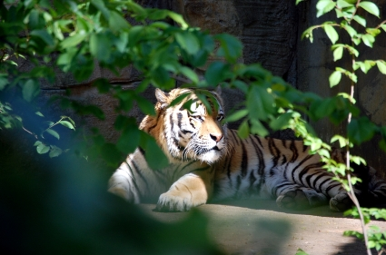 2017_Leipzig_Zoo_Tiger