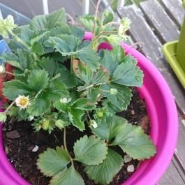 eigene Erdbeeren pflanzen