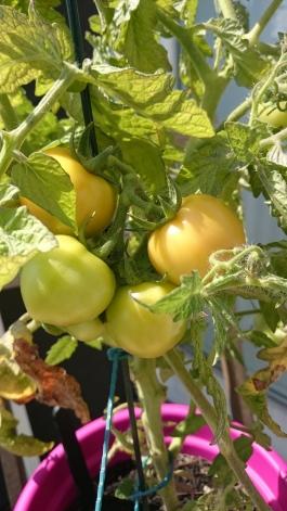 Tomaten auf dem Balkon ziehen