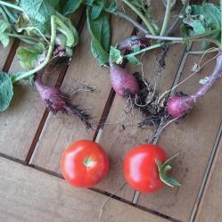 Tomaten und Radieschen Ernte
