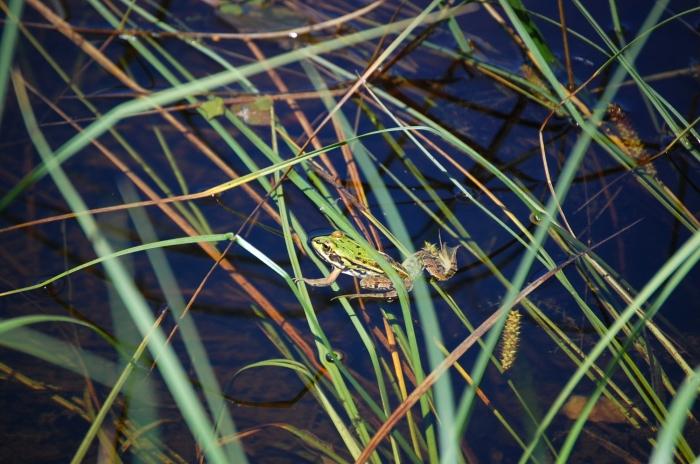 Kematener Weiher Frosch