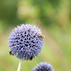Kugeldistel Blume Bienen Fotografie