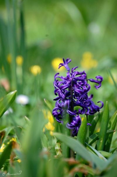 Blume lila Fotografie
