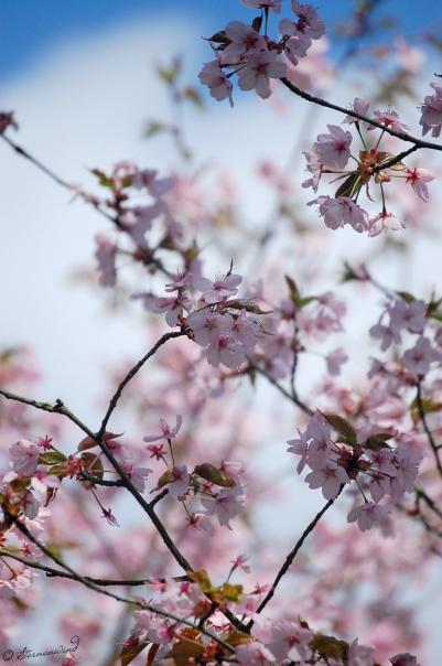 Kirschblüten Fotografie