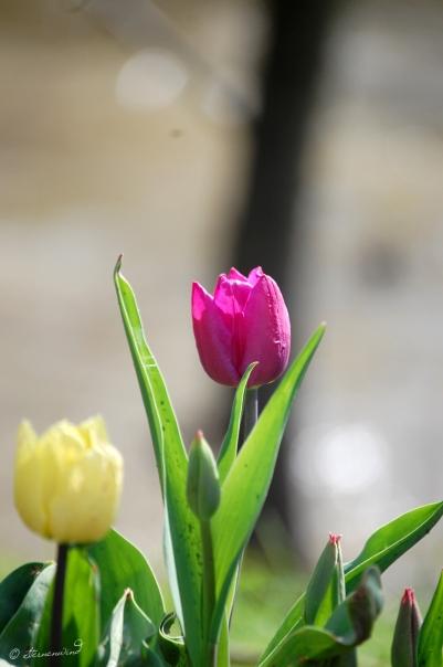 Tulpe Fotografie