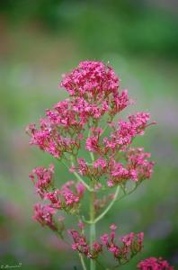 Trauttmansdorff Blume