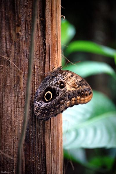 Trauttmansdorff Schmetterling