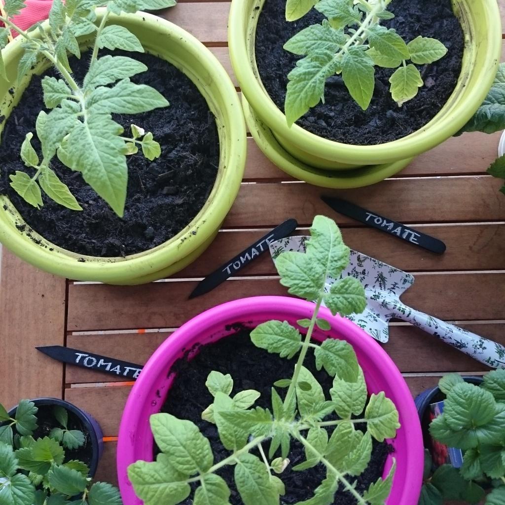 Tomaten selbst ziehen - Balkongärtnern