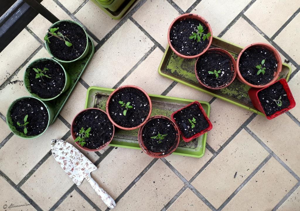 Tomaten selbst ziehen - umtopfen & pikieren
