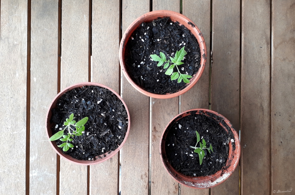 Tomaten selbst ziehen - umtopfen und pikieren