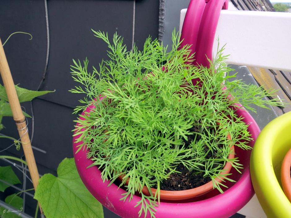 Dill auf dem Balkon pflanzen