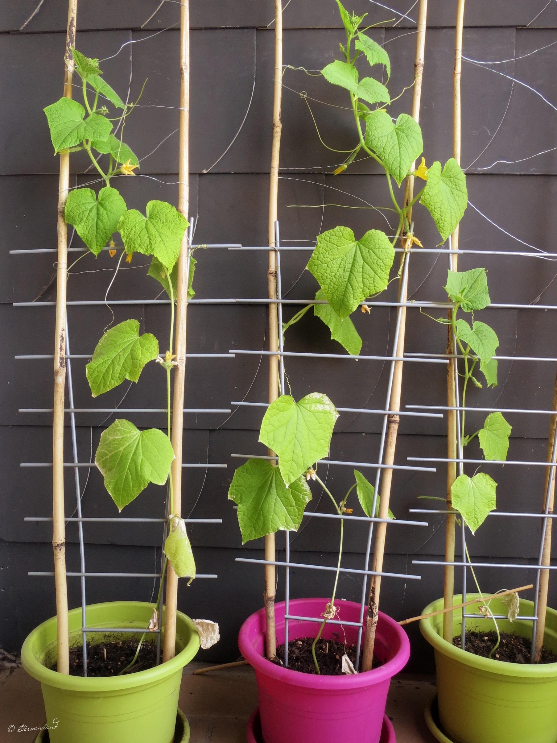 Rankhilfe für Gurken selbst bauen